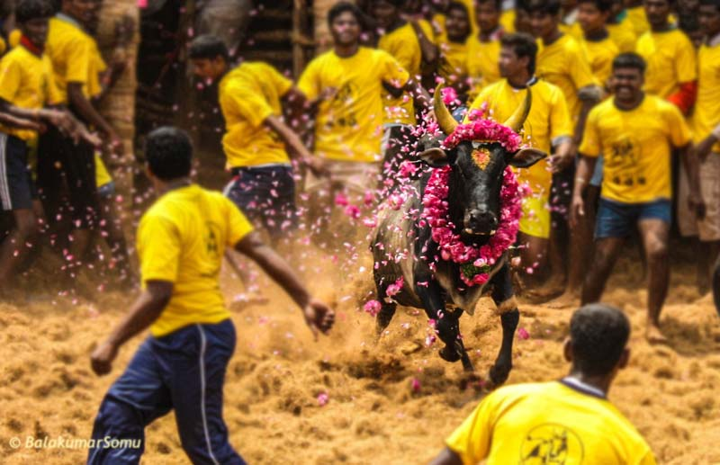 Why Jallikattu Should Be Every Entrepreneurs Inspiration